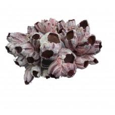 Морской желудь  натур. коралл 15см Shell 018  --
